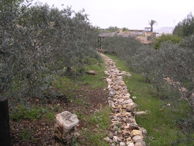 Olive grove in the region of the four towns